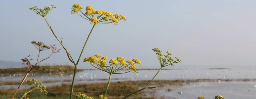 Photo fleurs de la baie d'Yffiniac